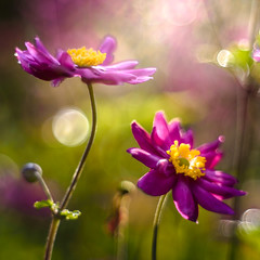 Music is a Dancer (hploeckl) Tags: pentacon diaplan projectorlens botanical garden flower flowers anemone bokeh light colorful nikon d750 switzerland stgallen fall automn sunny morning dew sunshine art mood nature macro yellow purple natural pretty