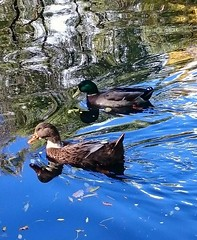 Reflejos (Eliazar Torre) Tags: madrid espaa spain parquedelcapricho parques reflejos lago patos