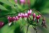 Bleeding Heart (Johnnie Shene Photography(Thanks, 2Million+ Views)) Tags: bleedingheart dicentra dicentraspectabilis pink flora floral flower plant floweringplant photography horizontal outdoor colourimage fragility freshness nopeople frontview sideview depthoffield stem stamen petals corolla interesting beautiful wonder fulllength adjustment foregroundfocus nature natural wild wildlife livingorganism tranquility tranquilscene korea spring day lighteffect vivid sharp green canon eos600d rebelt3i kissx5 sigma 1770mm f284 dc macro lens 금낭화 꽃 분홍색