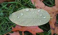 (emmapatsie) Tags: blad druppel waterdruppel