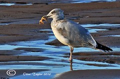 Gull (Olive Taylor. Thank you for your visit.) Tags: gull starfish nature beach seabirds blyth feathers feeding