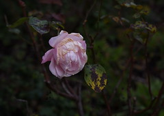 DSC_3192 (PeaTJay) Tags: nikond750 reading lowerearley berkshire macro micro closeups gardens outdoors nature flora fauna plants flowers rose roses rosebuds