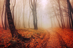 Autumn Walk LV. (Zsolt Zsigmond) Tags: forest trees woods autumn fall fog mist path way leaves foliage november nature landscape day light trail flickr nikon d5100 sigma