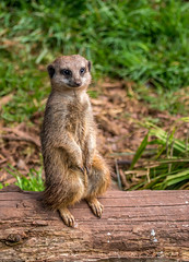 1-1-33 (worlknut) Tags: south lakes zoo nature wildlife meerkat mongoose