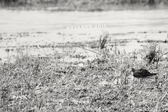 #صباح_الخير  #ابيض_اسود #bw #goodevening #طير #birds #bird #instabird #طيور  #طيور_الماء #طير_ماء #Waterbird #Waterbirds  #waterfowl #instabirds #insyaanimals #instaanimal #animal #animals #hdr #sonyalpha  #saudiarabia  #السعوديه #القصيم #السعودية #الربيع (photography AbdullahAlSaeed) Tags: goodevening birds instabirds طيورالماء الربيعيه animal hdr طيرماء طير طيورماء الربيعية السعودية waterfowl waterbird bw السعوديه saudiarabia instaanimal القصيم صباحالخير instabird bird sonyalpha sonya animals طيور insyaanimals ابيضاسود waterbirds
