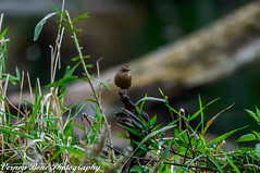 Skittish Bastered (vernonbone) Tags: 2016 500mm autumn d3200 highlandcreek lens october ontario uts winterwren birds nikon outside sigma street universitytorontoscarborough