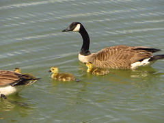 Canada Geese (ryanbrookskiwi) Tags: canadageese goose nature bird ducklings animal planet animalplanet