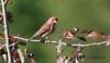 Roselin pourpré male / Purple finch male (ricketdi) Tags: bird cantley roselin roselinpoupré purple purplefinch finch haemorhouspurpureus