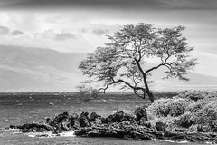 Island Living (Thomas Hawk) Tags: hawaii maui wailea bw tree fav10 fav25