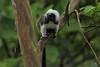 Cotton-top tamarin (Saguinus oedipus)-Titi Cabeciblanco Nature Reserve (Alonso Quevedo Gil) Tags: monkeys mammals tamarins jungle