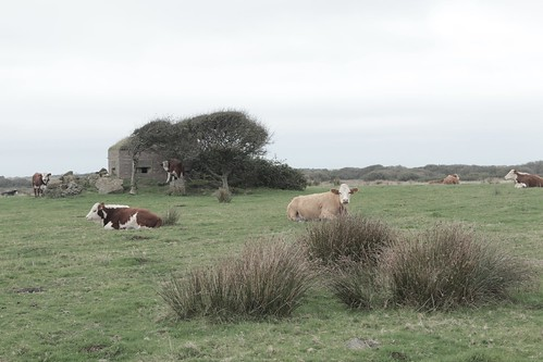 WW2 Pill box with attendant cows