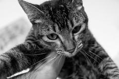 Gato busca hogar (Jantbrown) Tags: cat gato adopcin adopta animales abandonados refugio sevilla espaa animal callejero pet mascota mascotas canon 24mm f28 sweet cute kawaii blanco y negro black white bw