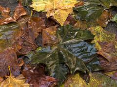 Bladeren - Leaves (naturum) Tags: 2016 amsterdam autumn blad fall herfst holland hoogtekadijk kadijken leaf nat nederland netherlands november plane plataan wet noordholland nld