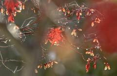 The red  maple leaf (balu51) Tags: garten herbst morgen morgenlicht baum ahorn japanischerzierahorn blatt rot braun grau oliv flgel samen wassertropfen gegenlicht backlight bokeh morning morninglight garden tree maple leaf red grey green autumn fall 100xthe2016edition 100x2016 image79100 november 2016 copyrightbybalu51