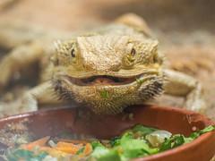 Smile (nicolasschabram) Tags: animal tier zoo wilhelma stuttgart deutschland germany reptil reptile smile lcheln pogona bearded dragon bartagam