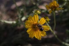In For A Penny (harefoot1066) Tags: asteraceae verbesina verbesinaencelioides goldencrownbeard diptera fly aschiza syrphidfly syrphidae eristalinae volucellini copestylum copestylumsubgenusphalacromya copestylumapiciferum