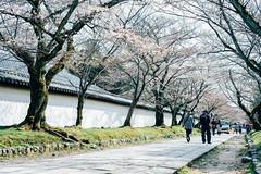 Japan Kyoto . . Skura in Daigo-ji  .  DSC_8156 (Ming - chun ( very busy )) Tags:   sakura japan  nikon d800 f18 kyoto      sukura cherryblossom cherry blossom   travel  tree        nikkor 50mm 50mmf18 f1850mm traveljapan   flower