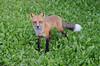 20140817_18h36m46s__DSC0489 (Luc-Gabriel) Tags: baiejames animaux nature renard renardroux vacance été