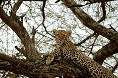 Leopard perched on a tree in Masai Mara Kenya (africansermonsafaris) Tags: kenya wildlife safari leopard bufallo masiamara