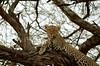 Leopard perched on a tree in Masai Mara Kenya (africansermonsafaris) Tags: kenya wildlife safari leopard bufallo masiamara