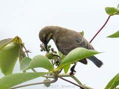 Mariqua Sunbird (Immature) (Makgobokgobo) Tags: mariquasunbird sunbird bird immature garuga entebbe uganda africa cinnyrismariquensis cinnyris
