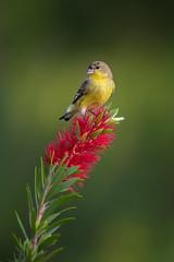 Lesser Goldfinch (RawComposition) Tags: bird birding nature wildlife wild nikon fall outdoors green red color california nikon200500 d810 bottlebrush australian