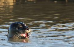 The harbour (or harbor) seal (Phoca vitulina), (GrahamParryWildlife) Tags: mk2 7d 150600 sigma grahamparrywildlife uk kent rspb animal outdoor depth field up dof kentwildlife canon seal harbor harbour rye esussex phoca vitulina