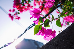 Under the Shining Star (Hunh Anh Kit) Tags: kietbull blooming blossom amaranth paper flower shining star sun sunshine explore