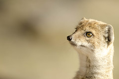 On the lookout (forest star) Tags: yellowmongoose alert staring mongoose marwellzoo