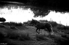 Le comtois (Frd.C) Tags: comtois cheval horse doubs douche black white france french canon eos lens water