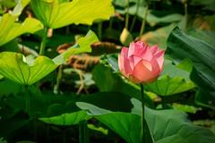 A natural lamp (Sergio '75) Tags: nature natura natur naturaleza naturallight natural flowers loto lotus ninfea colors colorful canon canoneos70d italy italia hasu suiren sergio75 sergio