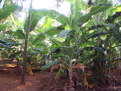 Plantain cultivation   (Ravi Mamparambath) Tags: banana musa plantain