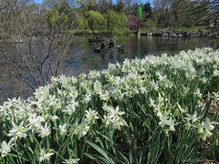 The last of the Daffodils (CVerwaal) Tags: nyc newyorkcity lake newyork canon spring centralpark rowing daffodils rowboats thelake canons100