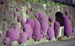 cascading flowers (Riex) Tags: flowers film fleurs switzerland spring purple suisse minolta violet mauve walls printemps fleuri murs maxxum amount vaud lavaux flowery minoltaamount quartzdate xpxi