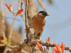 Brahminy Starling (SivamDesign) Tags: bird fauna canon eos rebel kiss starling x4 myna brahminy 550d brahminystarling temenuchuspagodarum canonef300mmf4lisusm t2i brahminymyna sturniapagodarum