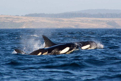 Orca Family by DrTH80, on Flickr