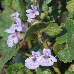 Lierre Terrestre - Glechoma hederacea - Ground-ivy (dombes et ailleurs) Tags: flowers fleurs printemps springtime glechomahederacea gillovertheground groundivy lamiaceae creepingcharlie dombes lierreterrestre