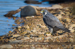 Peregrine at the Lake | National Wildlife Photo Challenge, Please Vote (Nick Chill Photography) Tags: bird beach nature animal fauna nikon sandiego wildlife stock raptor falcon animalia avian birdofprey peregrine peregrinefalcon falcoperegrinus lakemurray missiontrailsregionalpark d90 duckhawk thewonderfulworldofbirds nickchill