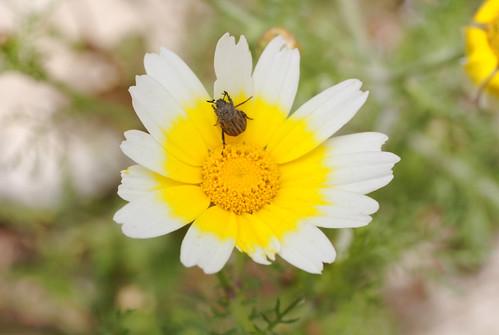 Fleurs sur le site du monastère de Philerimos - Rhodes - Grèce