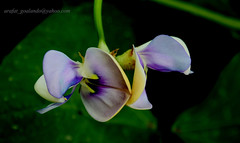 flower 11 (....~'A.r.A.f.A.t'~...) Tags: flowers green beauty sylhet bangladesh arafat vegetableflower goalando
