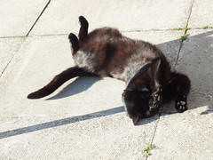 Tommy having a roll (Moldovia) Tags: pet black animal cat feline legs outdoor tail ears tommy paws catpix bridgecamera catspotting catnipaddicts fujifilmfinepixhs20exr