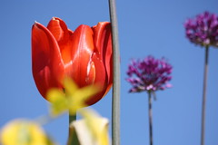 Frhlingsfarben - Colours of spring (ho.ge) Tags: flowers blumen tulip allium tulpe zierlauch mimamorflowers