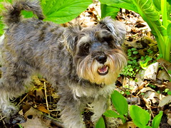 Holly.  :) (Dingerz) Tags: dog pet tree animal forest canon puppy spring squirrel schnauzer