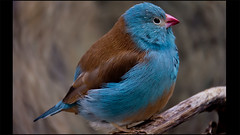 pass the provalone (giancarlo_III) Tags: california blue brown blur cute bird nature birds animal zoo bokeh ngc humor tan feather pasta animalplanet bluecappedcordonbleu