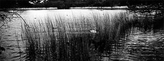 Untitled_Panorama1-2 (Evansshoots) Tags: blackandwhite bw panorama lake bird water monochrome reeds swan fuji panoramic hasselblad coastal xpan f4 45mm tx2 brackish swanpool