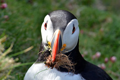 Puffin with Nest Material (thebiff01) Tags: puffin shetland nesting sumburgh