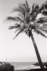 Palm tree (Play Ouch) Tags: india 35mm canon iso100 tmax a1 inde pondicherry pondichry puducherry