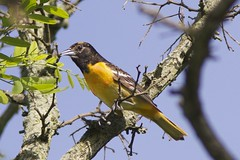 First year, male, Baltimore oriole (Henry McLin) Tags: bird birds pennsylvania hanover molting baltimoreoriole oriole codorusstatepark