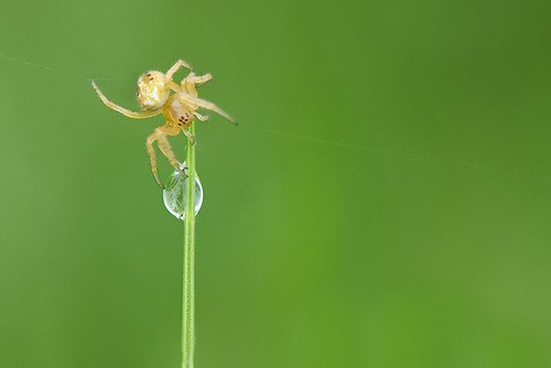 Orb Weaver and a Drop of Water