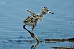 pulcino di Cavaliere d'Italia, a chick of Black-winged Stilt (paolo.gislimberti@gmail.com) Tags: birds uccelli chicks pulcini